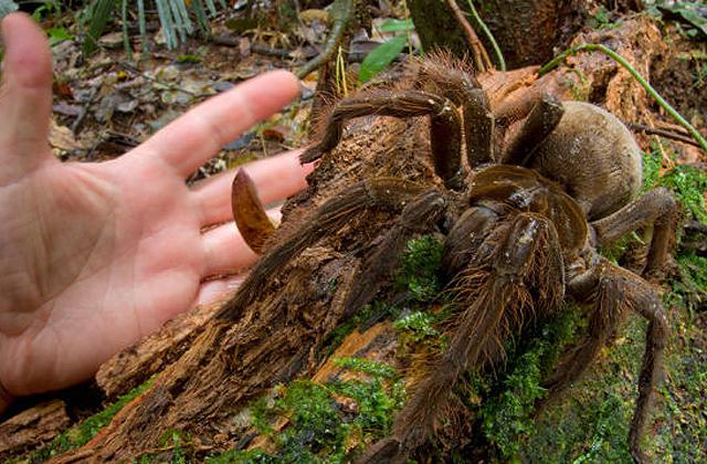 Ez a világ legfélelmetesebb pókja – fotó