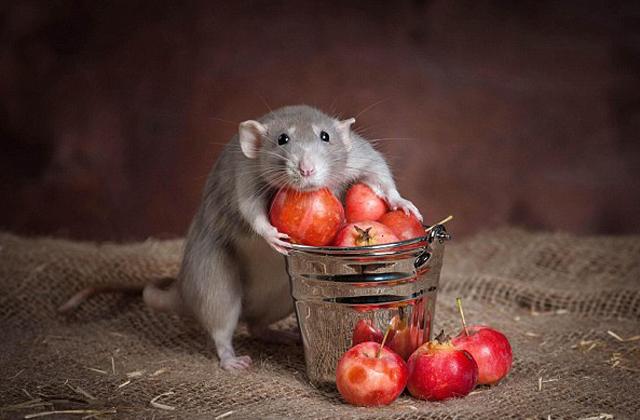 Íme a bizonyíték: a patkányok is cukik