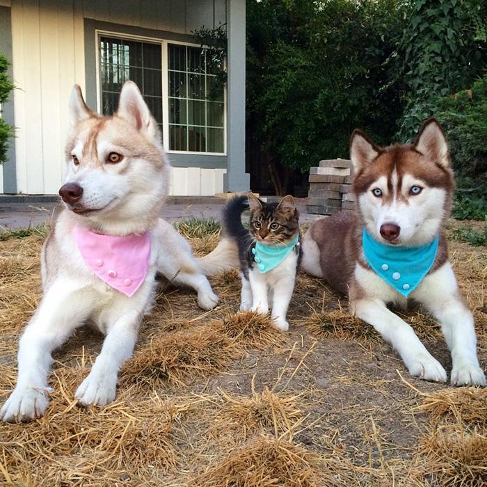 Legjobb barátok lettek a három huskyból és a kiscicából
