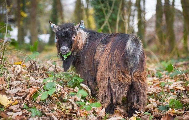 Kutyaként él a cuki kecske