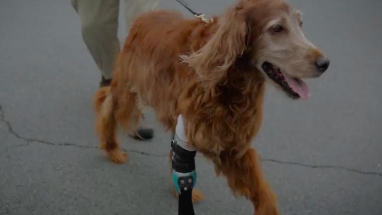 Műlábbal élhet tovább a csontdaganatot túlélt kutya
